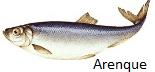 arenque